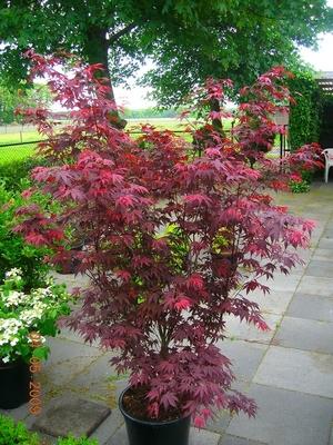 Acer palmatum pěstování