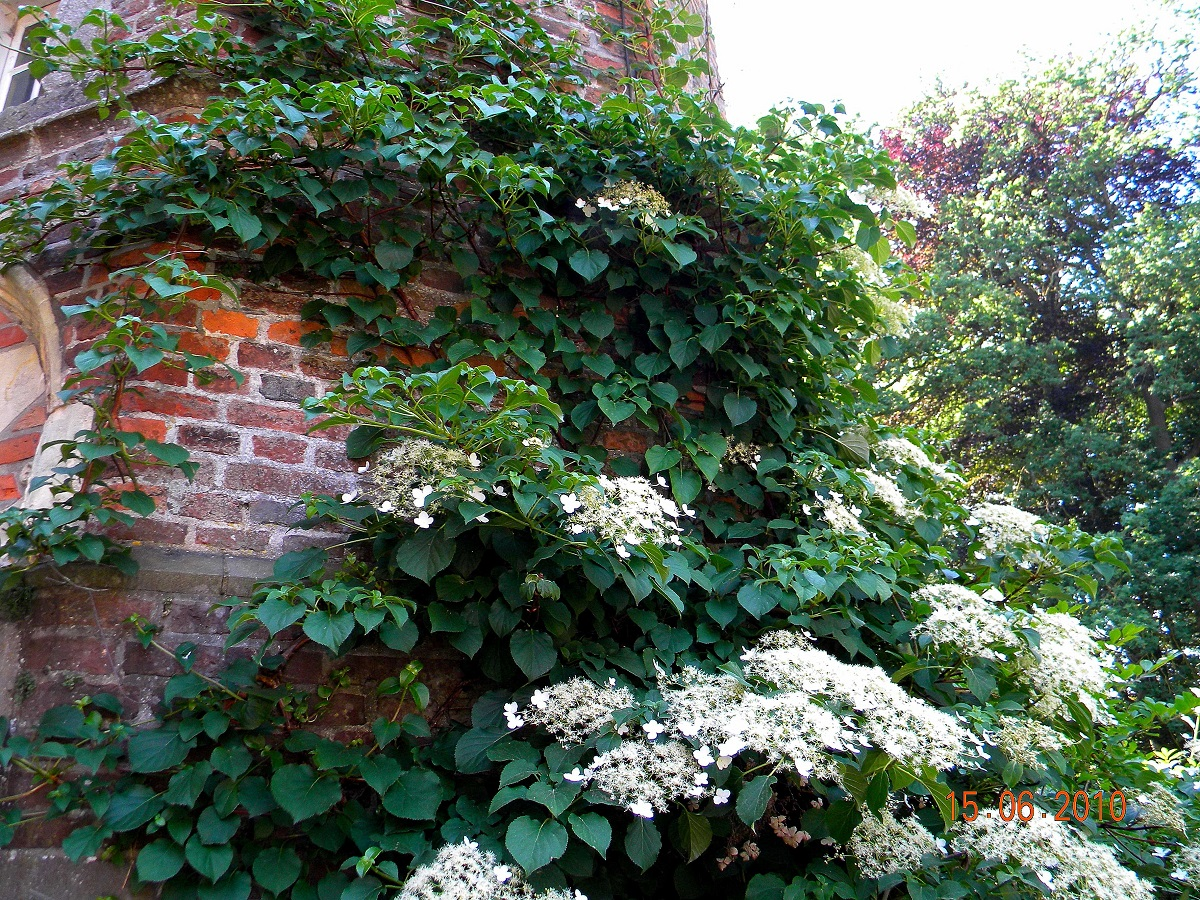 Hydrangea petiolaris file k ynn shortensia hydrangea - Hydrangea petiolaris ...